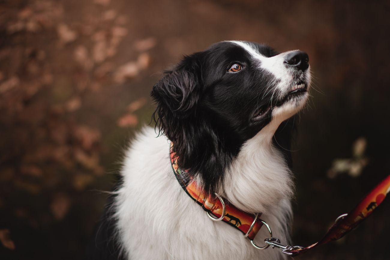 Obroża dla psów DogVenture