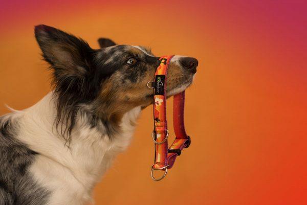 Obroża dla psa półzaciskowa Wild West
