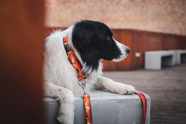 Obroża dla psa półzaciskowa